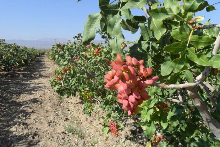خرید اسید سولفوریک کشاورزی | میزان مصرف اسید سولفوریک در باغ پسته